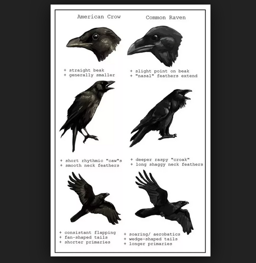 Ravens & Crows Are Not Birds Of A Feather
