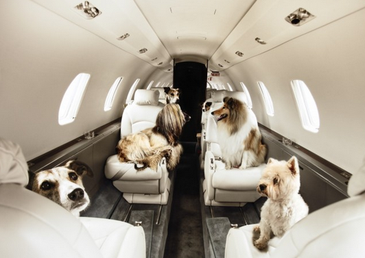 "Pets On A Plane Go ""Furs Class"" Again"