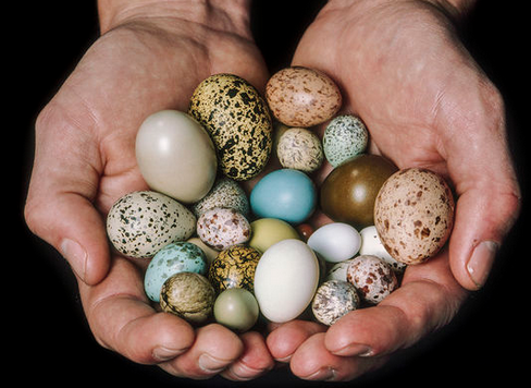 Cracking The Egg Mystery Of Fast Flying Birds