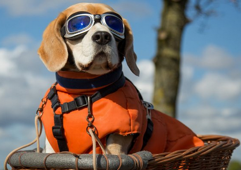 Sun Glasses For Your Dogs During The Solar Eclipse?