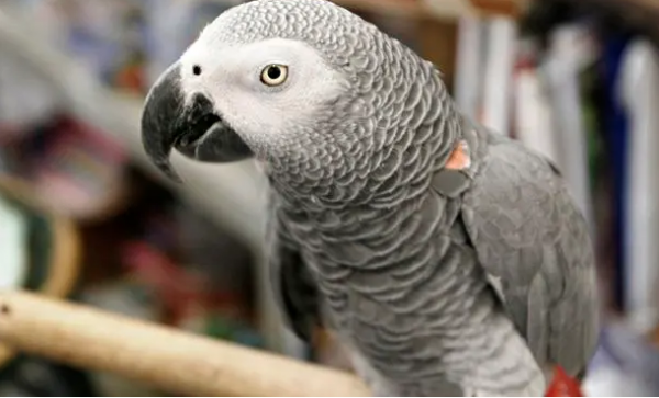 British Parrot Speaks Spanish After Being MIA For 4 Years