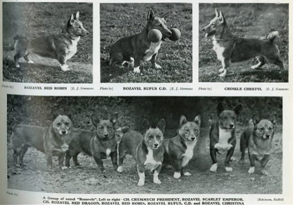 Pembroke Welsh Corgis from Rozavel Kennels in England