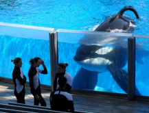 Tilikum being observed by trainers