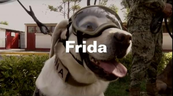 Frida, the Labrador hero