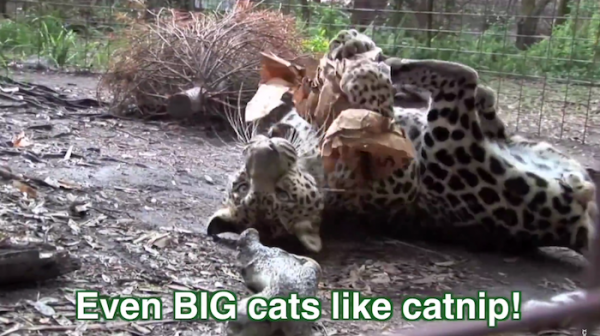 Big cats like catnip too!