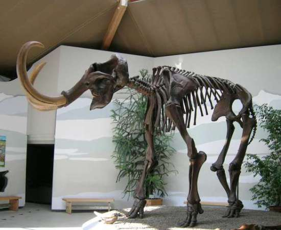 Wooly mammoth skeleton: image via wikipedia.org
