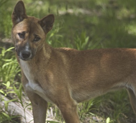 New Guinea Singing Dog In Captivity (Photo by Jean/Creative Commons via Wikimedia)