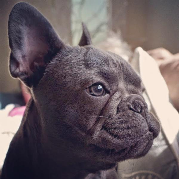 Sir Pinch A Lot French Bulldog by David Rowley