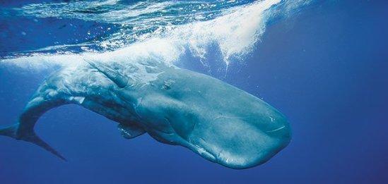 Galapagos Sperm Whale