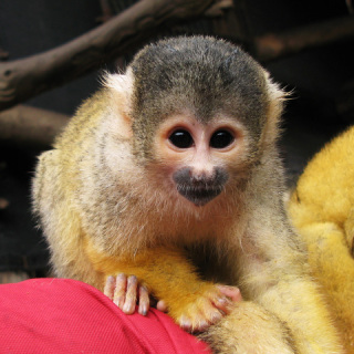 Squirrel Monkey: Image by Coda, Flickr