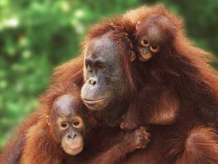Sumatran Orangutan mom and offspring: image via animal-wildlife.blogspot.com