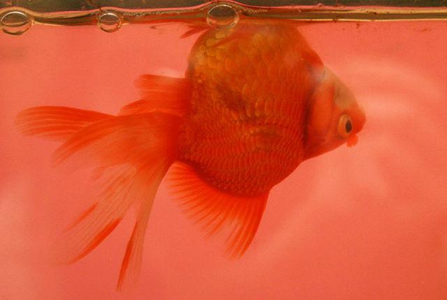 Fancy goldfish with swim bladder disease
