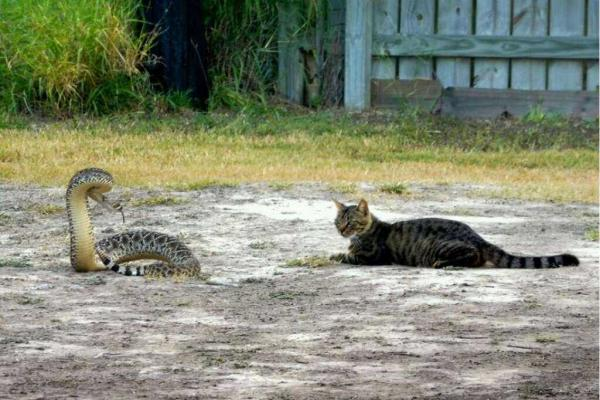 Fearless Cat Not Rattled By Texas-sized Snake