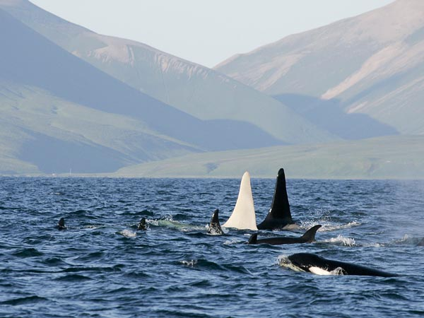 "The white killer whale swims with his family or ""pod"" of  black and white whales."