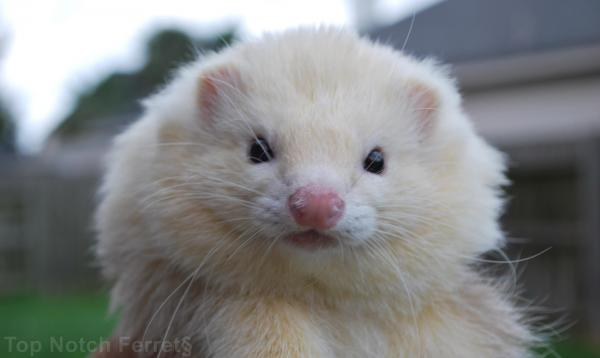 top notch angora ferret