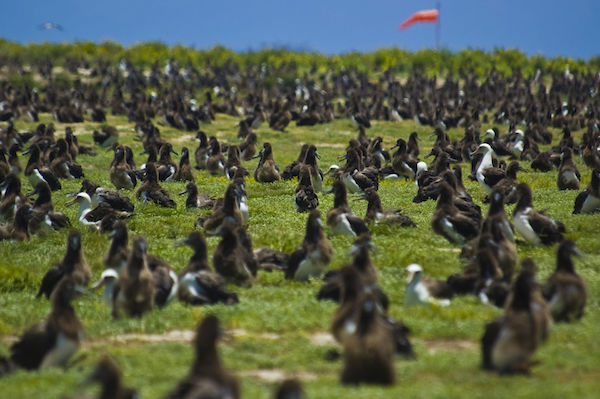 Laysan Albatross cover the Midway Atoll