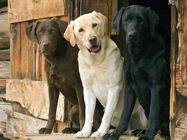 Chocolate, Yellow, and Black Labrador Retrievers