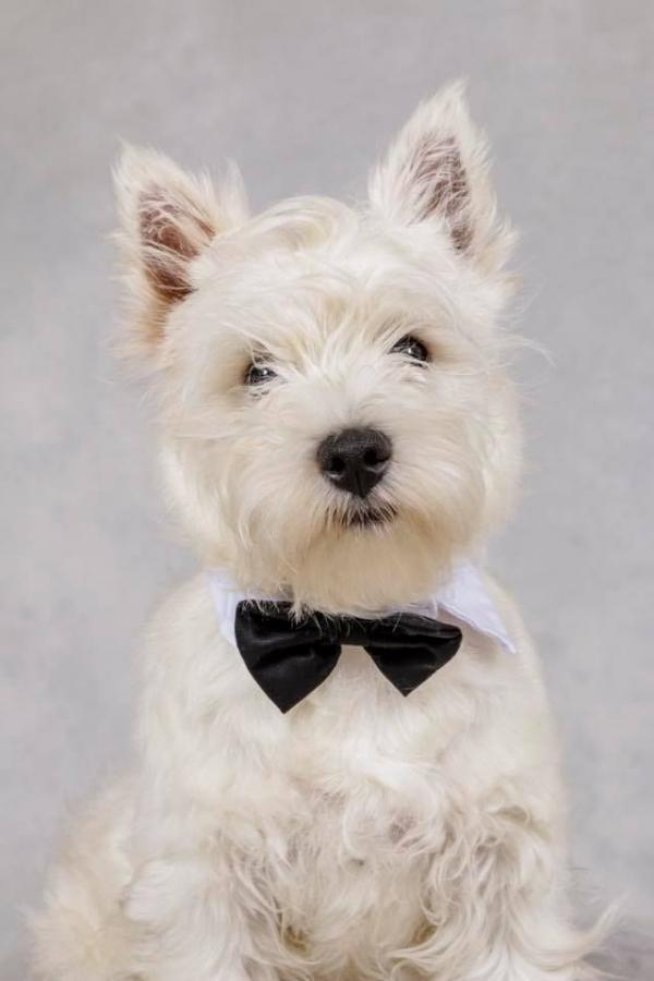 West hihgland Terrier With Bow-Tie