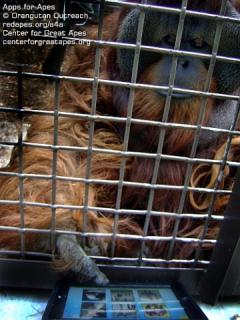 Orangutan checking out the iPad apps: © Orangutan Outreach, image via thinkdigit.com