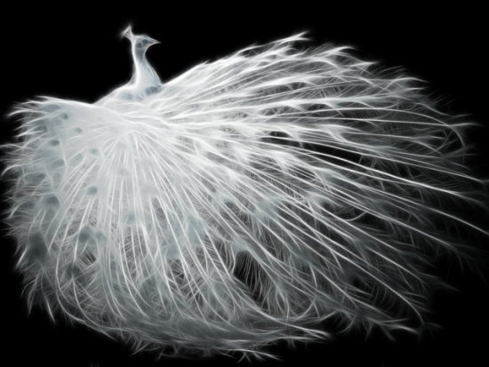 White Peacock by Ossowski: You can never have too much peacock art.