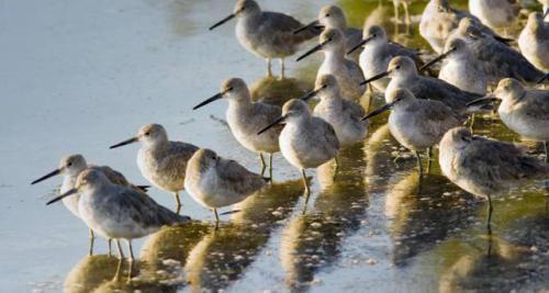Flock of Willet