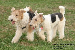 A very matted Wirehaired Fox Terrier (left) and her well-groomed partner: image via dogbreedinfo.com