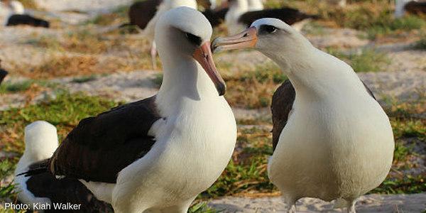 Wisdom the Albatross (right) & Her Mate: Image via @USFWS Twitter, Photo by Kiah Walker