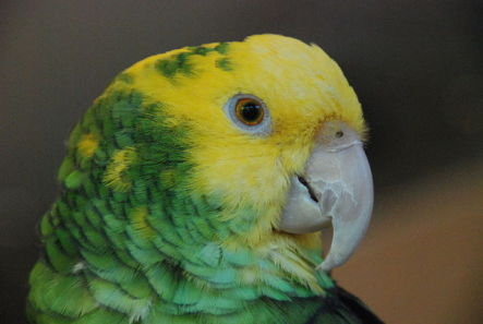Yellow-Headed Amazon Parrot (Photo by Humberto Moreno/Creative Commons via Wikimedia)