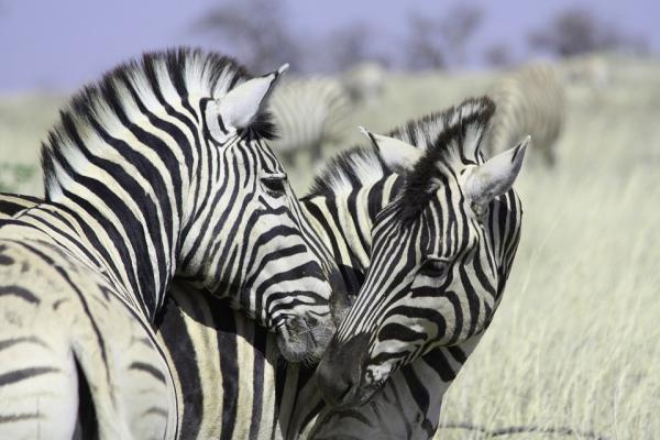 Zebra Stripe Body Paint May Provide Protection From Bug Bites