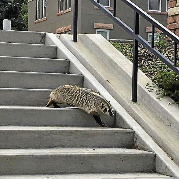 Badger on CU Campus