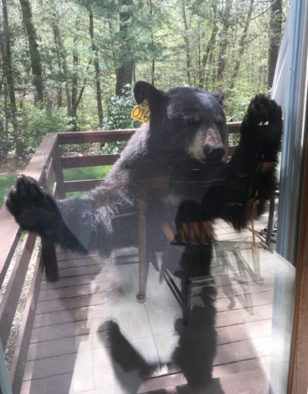 Bear Begging Brownies