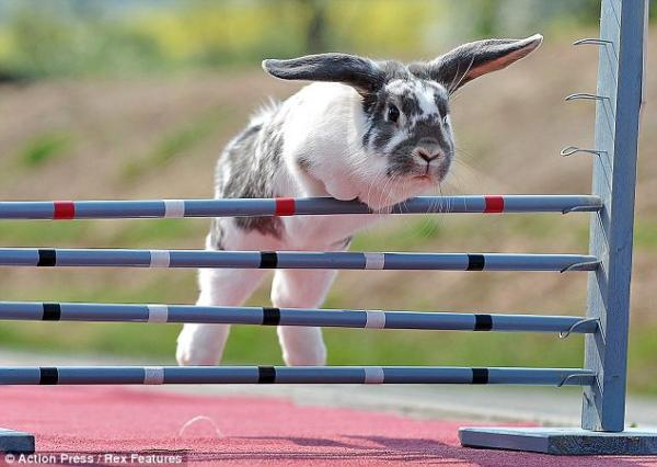 hop to it bunny show jumping is really a thing petslady com