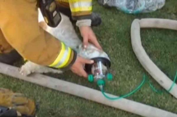 Jack Being Treated Using a Pet Oxygen Mask
