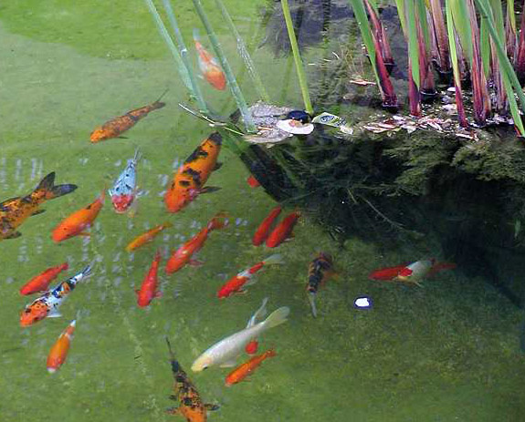 Goldfish and Koi in a Pond
