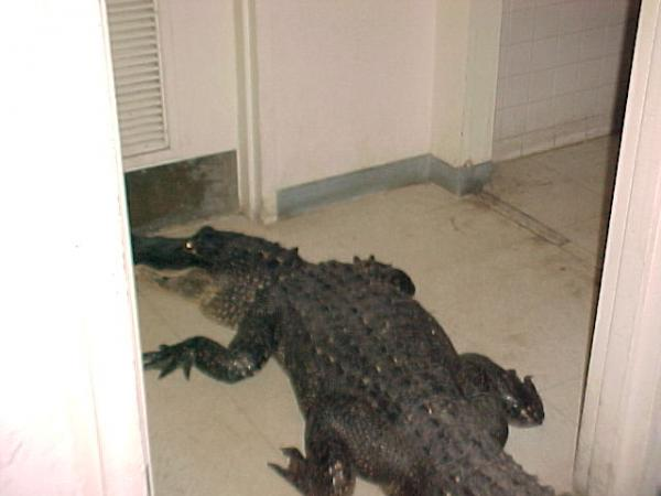 An Alligator Inside a Warehouse at NASA