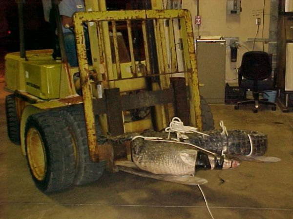 An Alligator Being Removed from a NASA Building