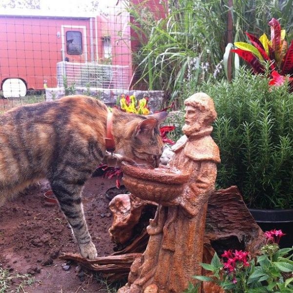 Lanai Cat Sanctuary -- Drinking Holy Water?