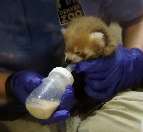 Red Panda Cub Feeding Time