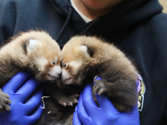 Red Panda Cubs at the Denver Zoo