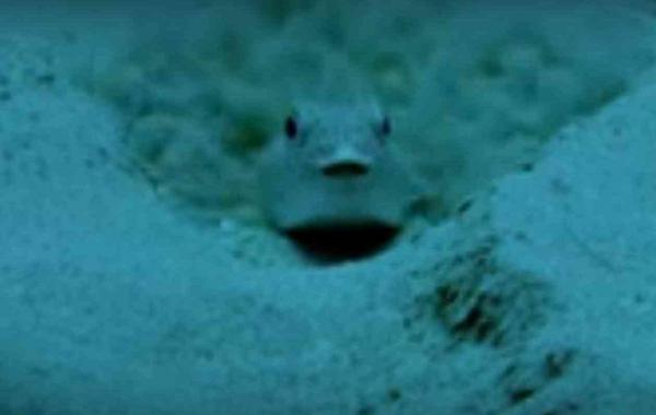 Puffer Fish And The Crop Circles Of The Deep