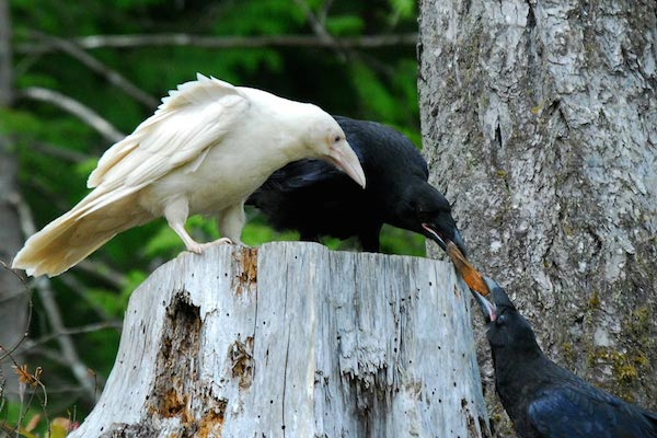 White Raven with Black Raven
