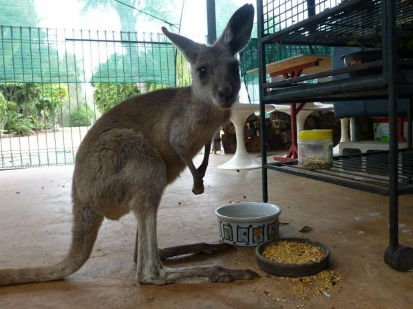 A Rescued Kangaroo