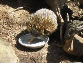 An Echidna at the Sanctuary