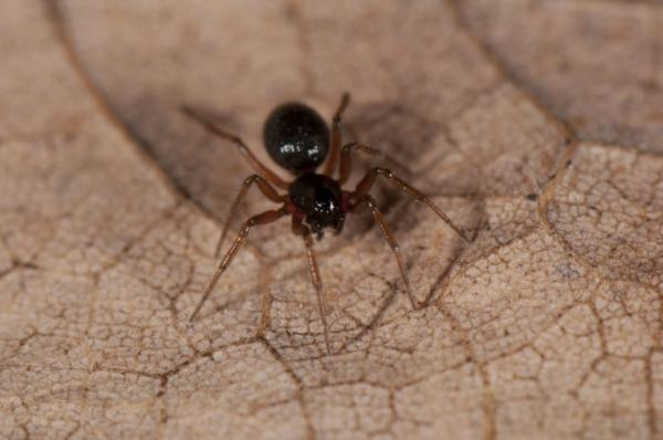 Spider in Leaf Litter