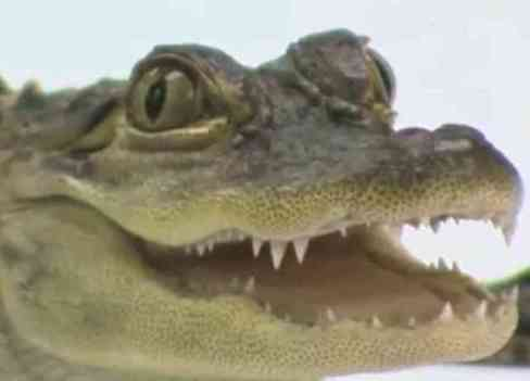 Allie the alligator (You Tube Image)