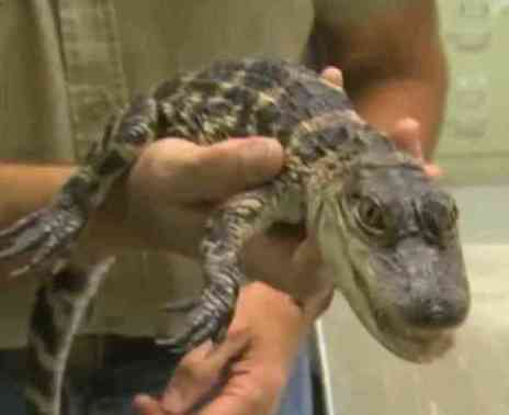 Allie the alligator in safe hands (You Tube Image)
