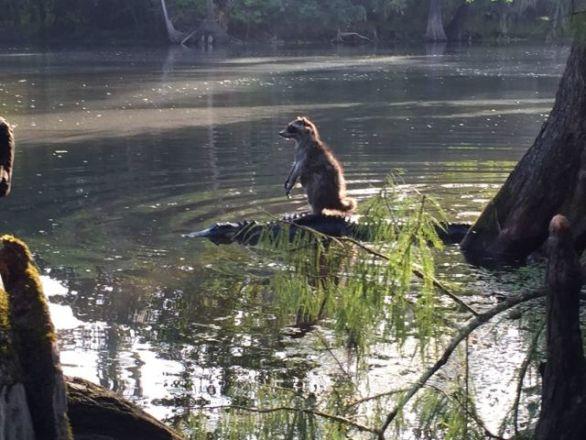 Raccoon Surfing on an Alligator (Image via WFTV)