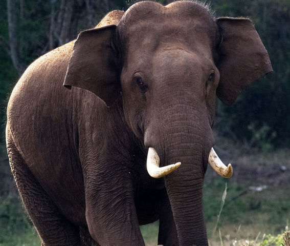 Asian Elephant (Photo by N. A. Naseer/Image via Wikimedia Commons)