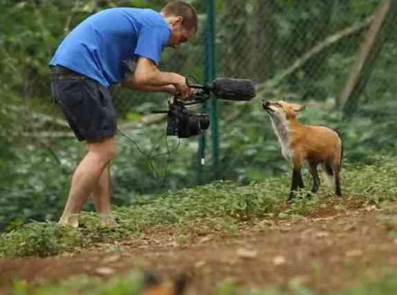 Fox with Photographer at Fox Village (You Tube Image)
