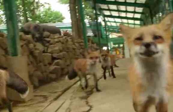 Foxes at Fox Village (You Tube Image)